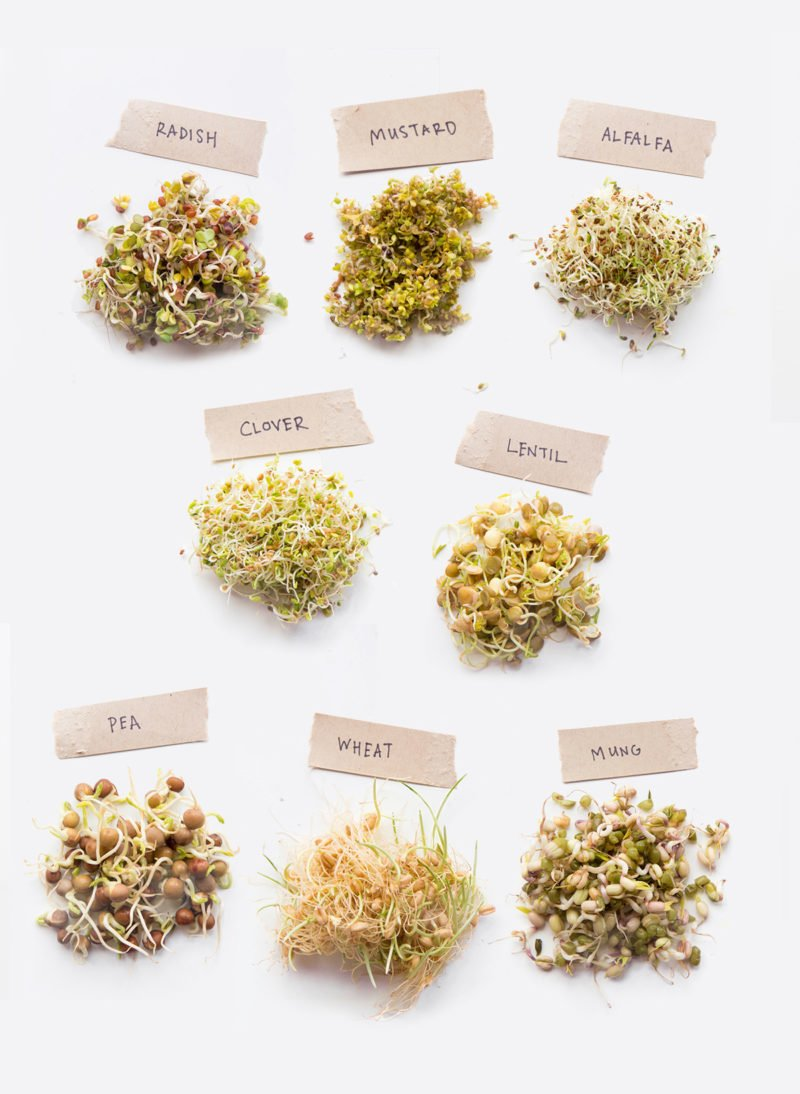 Individual piles of sprouts labeled with the type of seed - radish, mustard, alfalfa, clover, lentil, pea, wheat, mung bean