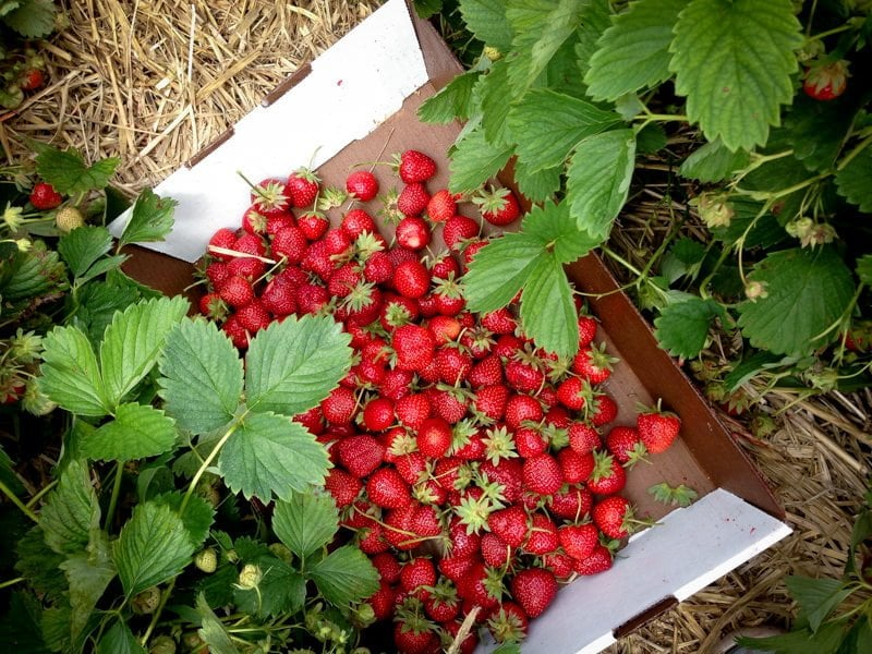 strawberries hubers