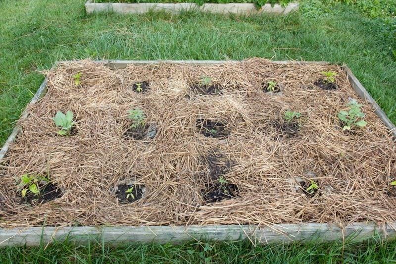 tomato bed garden