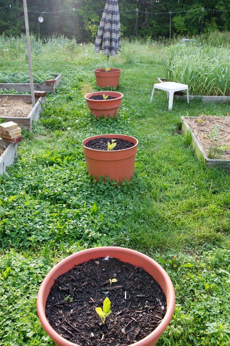 eggplant pots