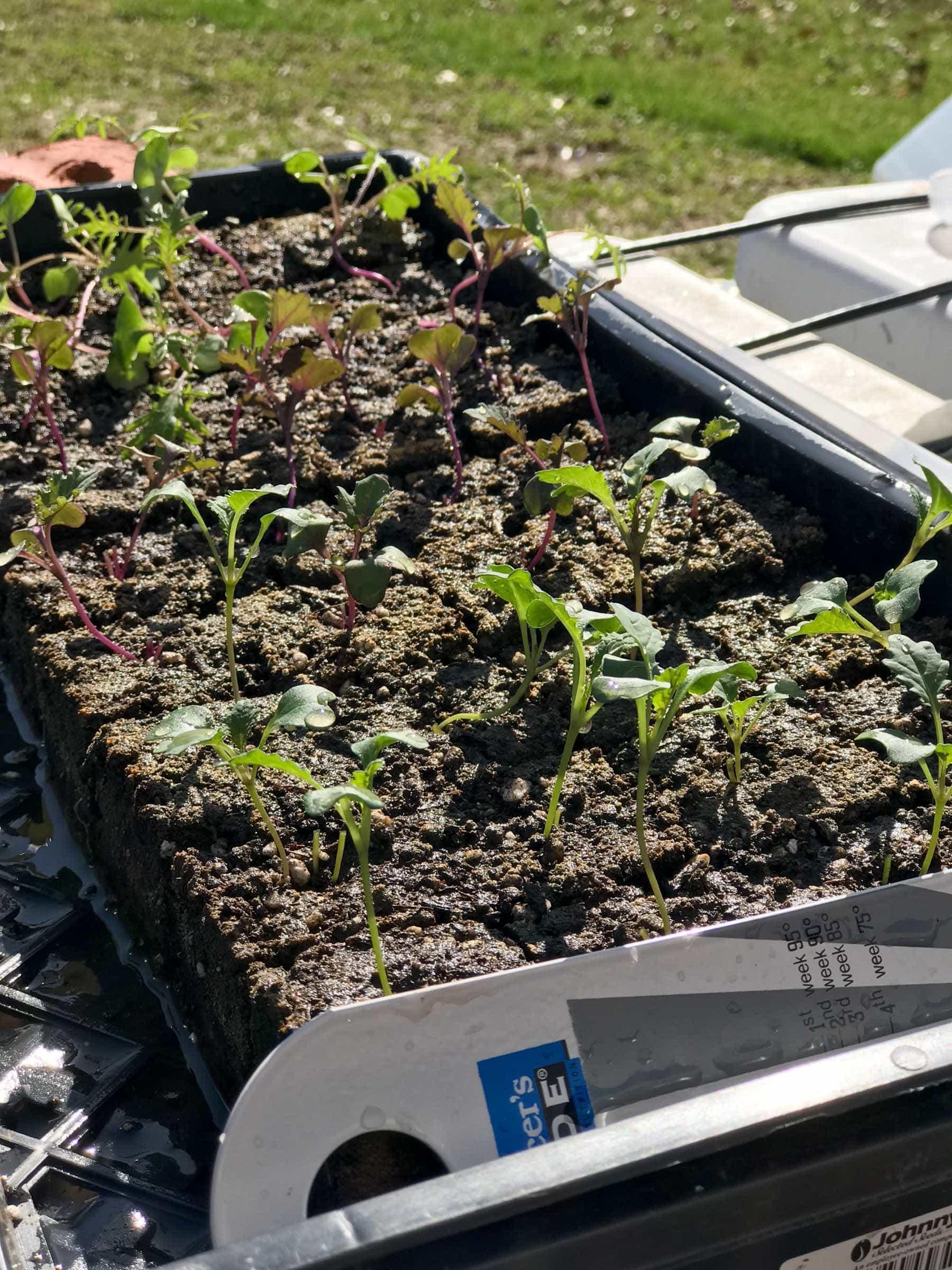Seed blocks of seedlings