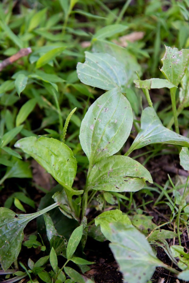 Close-up shot of plantain growing in a yard
