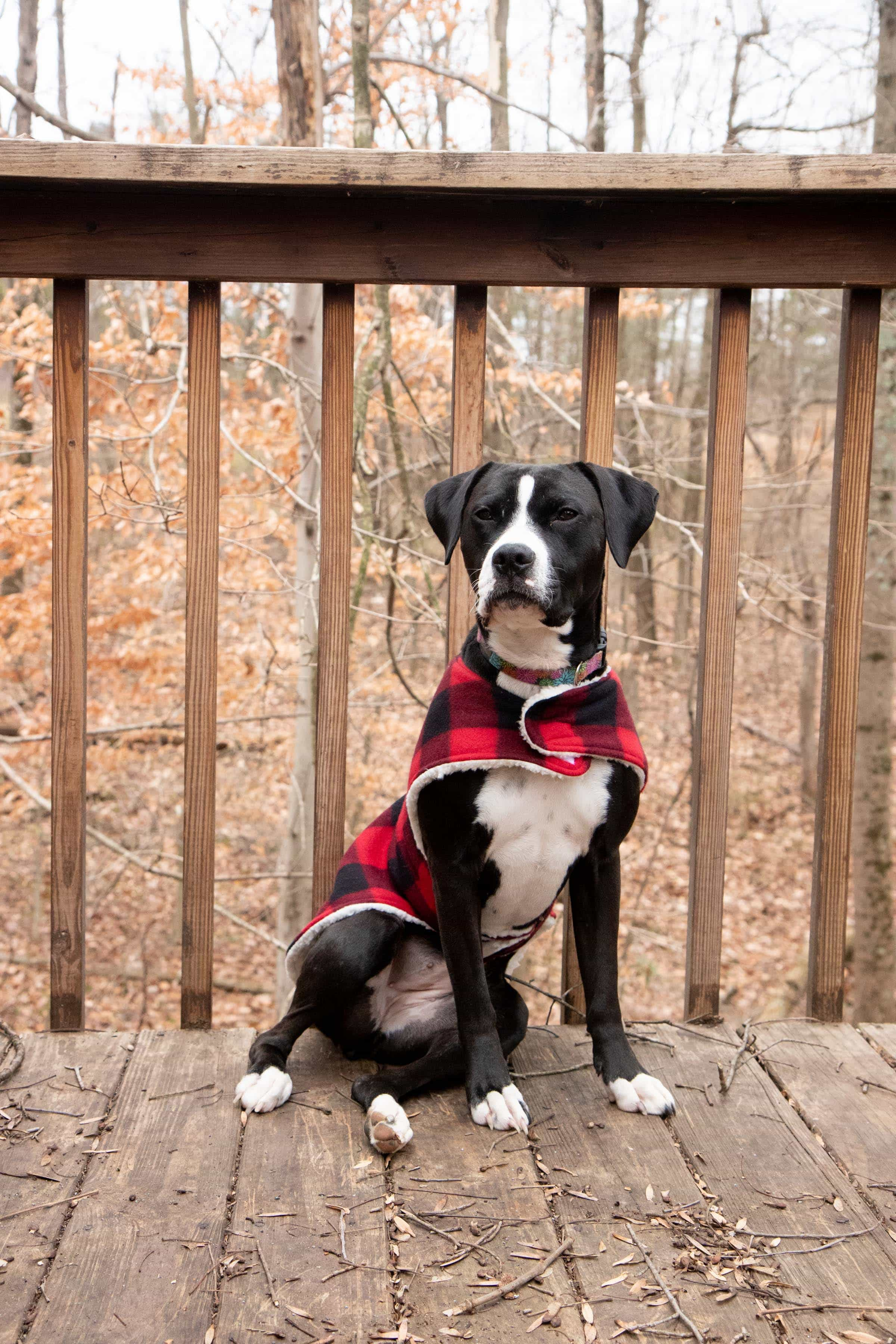 Black and white boxer mix sitting and wearing a plaid custom dog coat outside