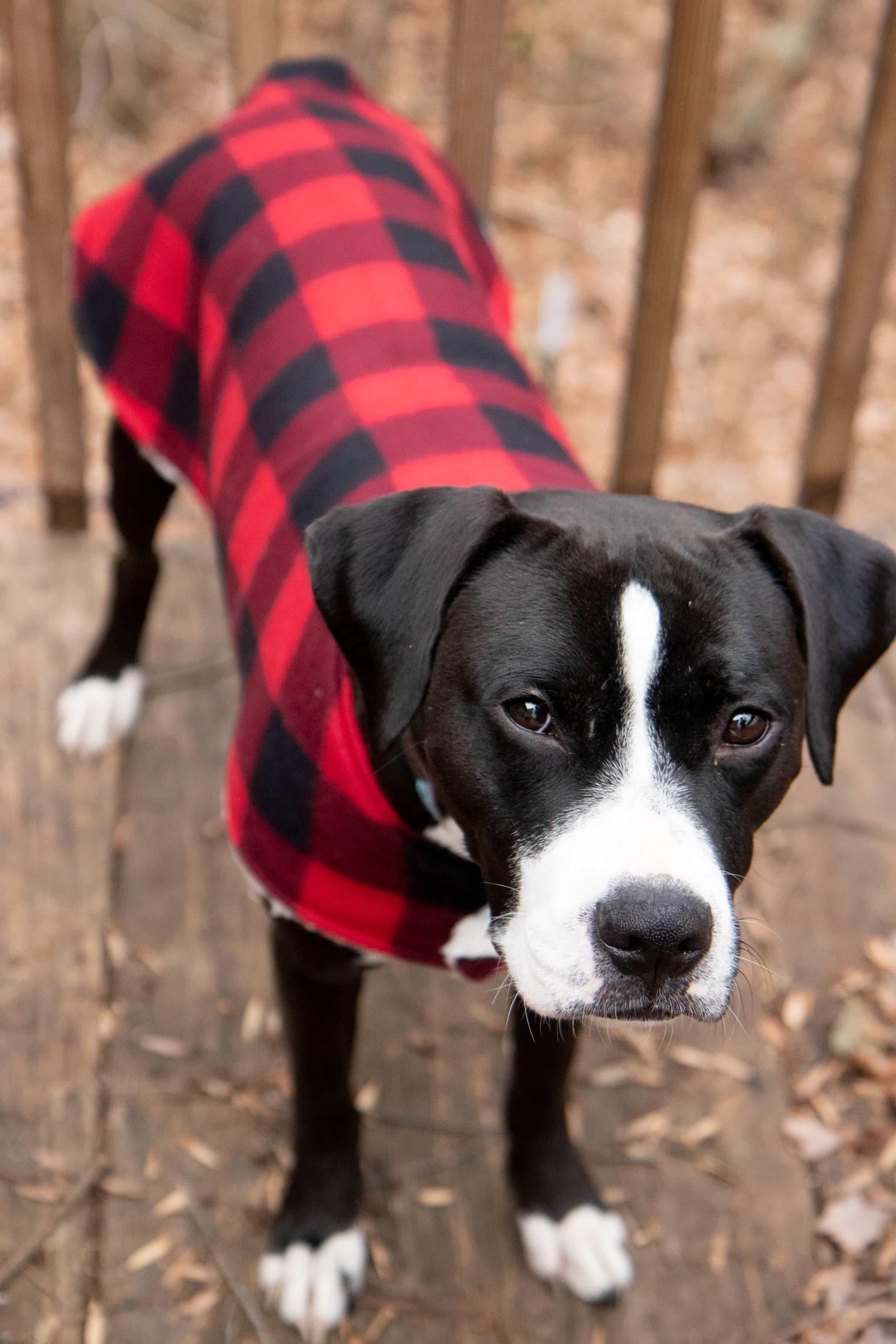 Black and white boxer mix wearing a plaid custom dog coat outside