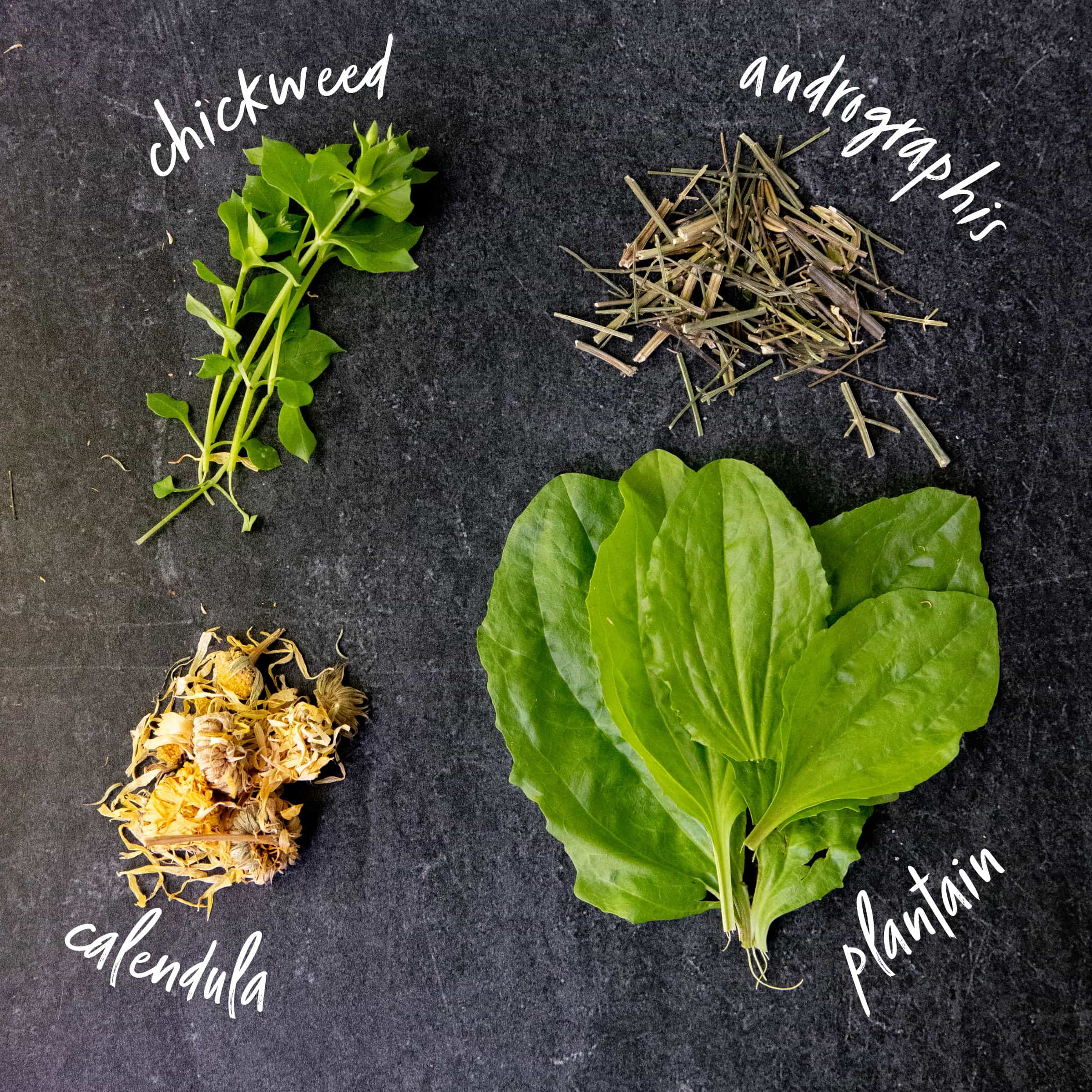 The herbs for black drawing salve laid out on a board and labeled - chickweed, andrigraphis, calendula, and plaintain.
