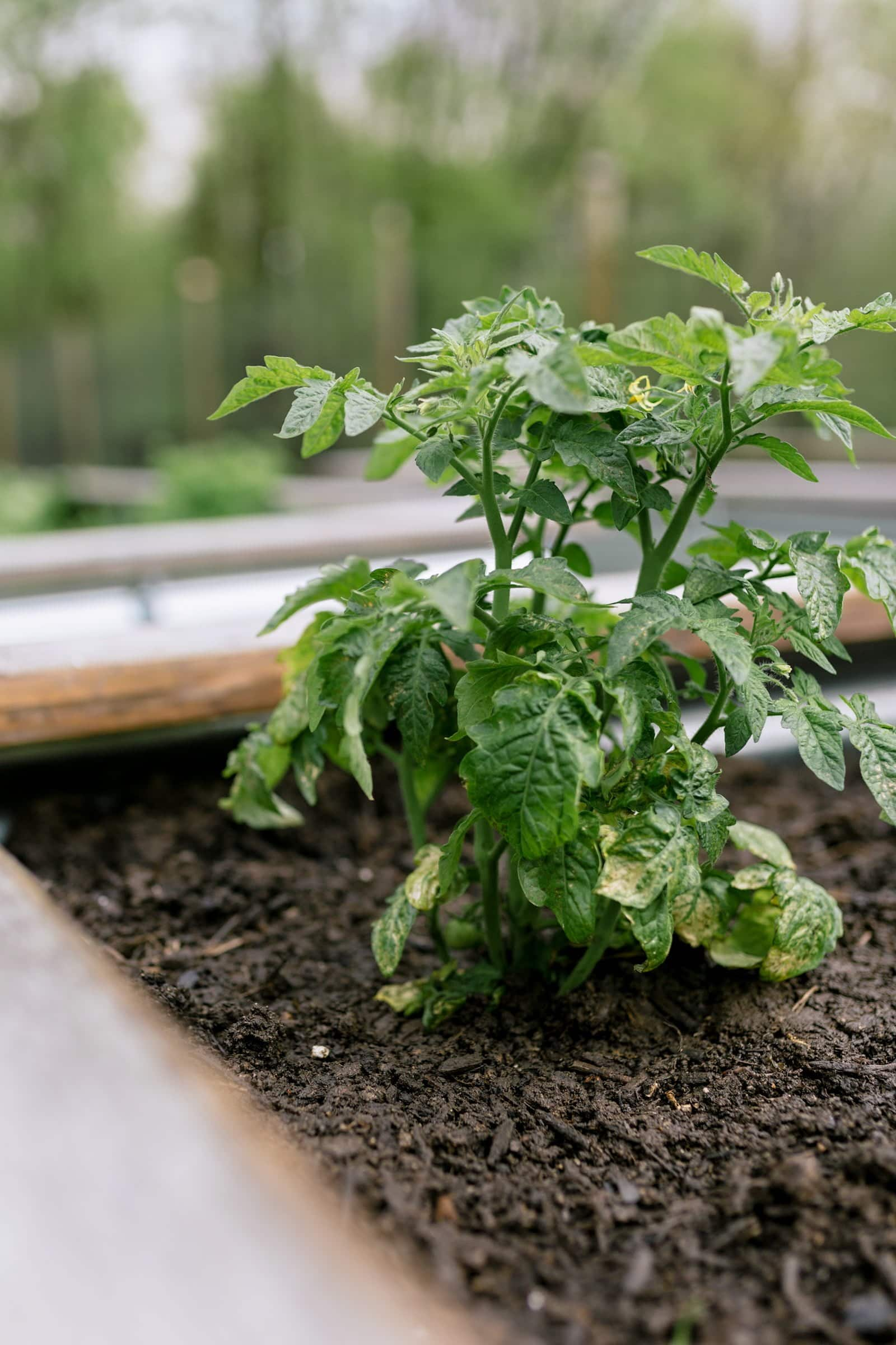 Tomato plant in a garden bed