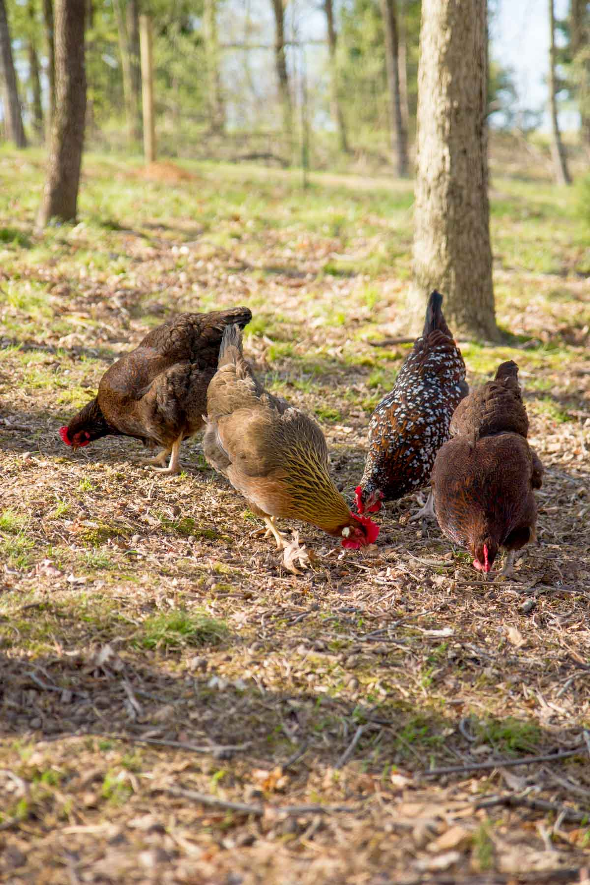 Four chickens pecking outdoors, helping to keep ticks away.