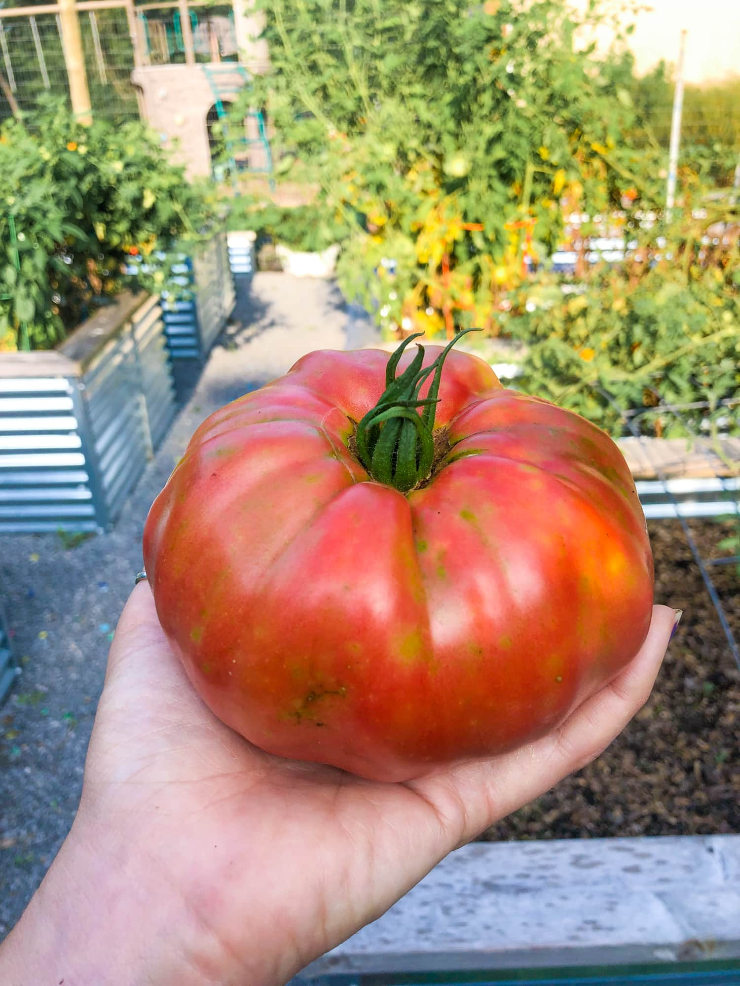 Hand holding a ripe German pink tomato