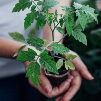 Hands holding a tomato plant seedling